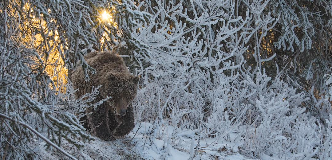 Robert Postma Grizzly